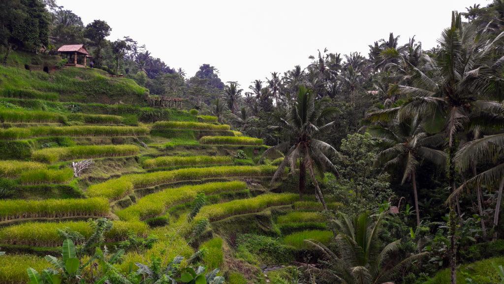 Индонезия, Бали, рисовые поля