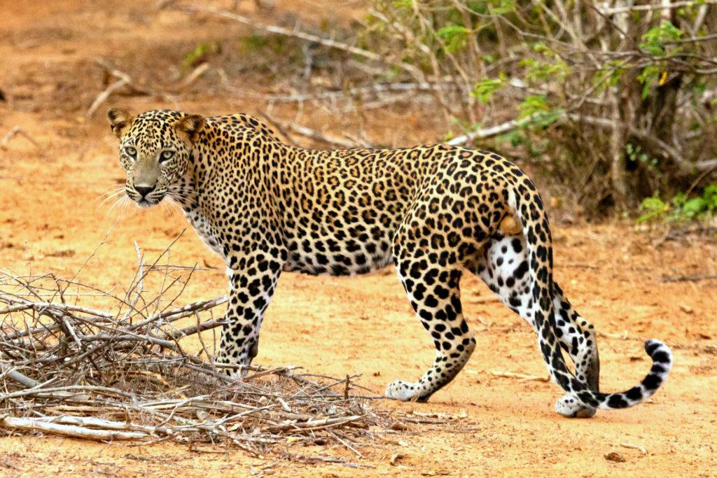 Цейлонский леопард